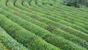 EMEK PARTİSİ: 2021 Yaş Çay Kampanyası Sorunları ve Çözüm Önerileri