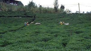 Çay Üreticisi Zorda!