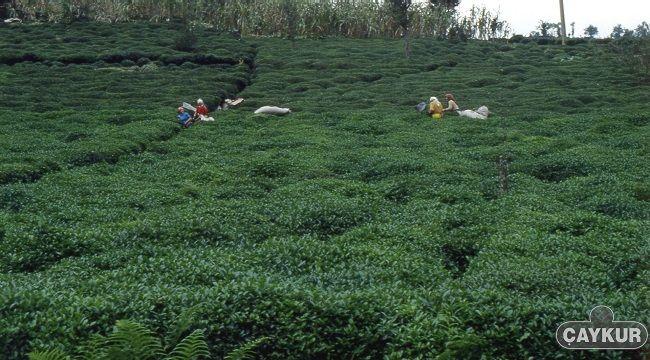 ÇAYKUR Temmuz Ayı Yaş Çay Bedellerini Ödüyor
